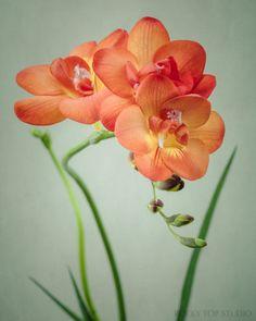 Fine art flower photography print of an orange freesia flower by Allison Trentelman.