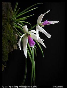 Leptotes bicolor. A species orchid (color)