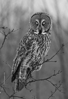absinthius: Great Gray Owl Black White Photos, Black And Grey, Acrylic Painting Tips, Great Grey Owl, Fuzzy Wuzzy, Owl Pictures, Gray Owl, Beautiful Owl, Animal Totems