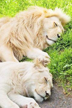 flickr.com 🌿  jas mahal´s photographie de ronin237 (felidae félins couple lion et lionne)
