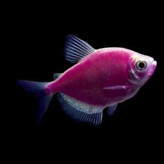 Purple GloFish tetra or Gymnocorymbus - Specs: average adult size: up to 2 inches long, average life span: up to 3 years with proper care, diet: omnivore, minimum aquarium size: 5+ gallons, water temperature: 72-80°F