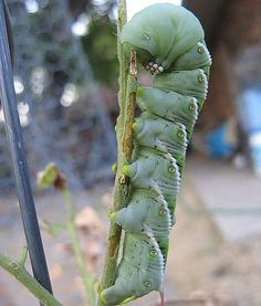 TOBACCO HORNWORM    Family:Sphingidae    Habitat: Tobacco plants of the Southern United States    Fun Fact: The Tobacco Hornworm has a special  built-inmechanism to extract nicotine from tobacco plants.
