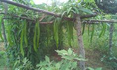 Winged Bean Seeds,Also Known As:asparagus pea, four angeled bean, goa bean…