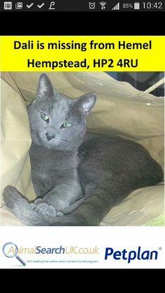 This beautiful boy is missing.   Please call #animalsearchuk  if you have any information.  #cat #feline #greeneyes #green #blue #russianblue #russianbluecat #grey #dali #hemelhempstead #hemel #hertfordshire