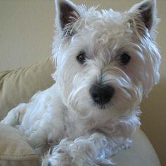 My Wonderful Westie named Delaney. What a cutie!