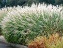 "Miscanthus sinensis ""Gracillimus"" or Maiden Grass. Grows 4-5' high in sun."