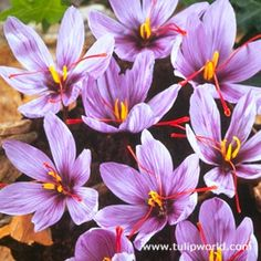 Grow your own saffron with this crocus!  The most popular fall-blooming crocus by far, the Saffron Crocus is truly exquisite! One of the most expensive spices on the market, the saffron can be harvested off of each bright red stigma to be used fresh or dry- in your Mediterranean and Asian dishes!  They sprout foliage in spring (fine grass like leaves), but in the Fall is when they will flower.; Then producing their valuable saffron spice!