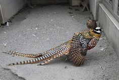 Reeves's Pheasant | Flickr - Photo Sharing!