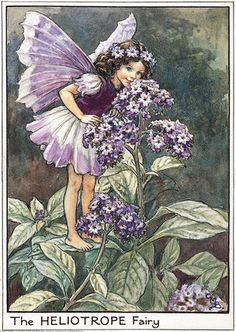 Illustration for the Heliotrope Fairy from Flower Fairies of the Garden. A girl fairy stands on a heliotrope leaf, leaning down to smell the flowers.  										   																										Author / Illustrator  								Cicely Mary Barker
