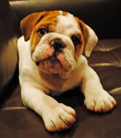 Gertrude the English Bulldog Pictures 933693