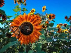Organic Autumn Beauty Sunflower (Helianthus annuus)- A beautiful sunflower! Plants produce many flowers in brilliant red, gold, yellow, rust and burgundy. Blooms over a long period. Makes a wonderful display. Plants range from tall. Garden Soil, Garden Seeds, Garden Plants, Vegetable Gardening, Organic Gardening, Types Of Sunflowers, Seed Shop, Bloom Where Youre Planted, Sunflower Seeds