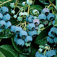 Jersey blueberry plant - late season - Very sweet, dark blue berries, easy to grow. Blueberry Varieties, Blueberry Plant, Garden Pots, Container Gardening, Old Things, Tropical, Layout, Shapes, Seasons