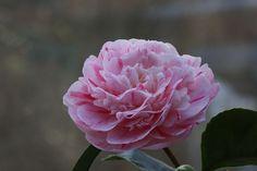 "Camellia jap. ""Optima"""