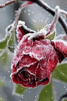 Frozen Rose - this is an @smosswrites photo if I've ever saw one.