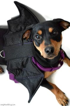 Amee...it's Bruce Wayne!!!!! Martha Stewart Pets bat harness! Bruce needs this for Halloween!