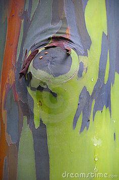 rainbow-eucalyptus-colorful-tree-bark-