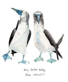 animal of the day - blue-footed booby | mina-milk illustration etc