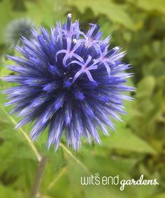 Echinops 'Blue Glow': Unique globe-like flowers you'll enjoy as much as the wildlife.