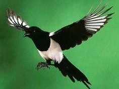 カササギ (鵲) Magpie (Pica pica)