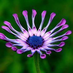 ~~ Purple Petals ~~