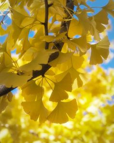 """Ginkgo biloba """"Autumn Gold"""" disease-resistant, cold and heat hardy but dislike wind, otherwise adaptable Maidenhair Tree, Nature Plants, In China, Jolie Photo, Mellow Yellow, Garden Planning, Amazing Nature, Shrubs, Scenery"""