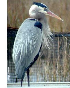 The Great Blue Heron represents the ability to progress and evolve in Native American symbolism.