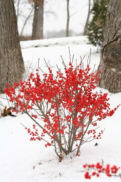 Shrubs with Winter Interest - Winterberry in snow, deciduous, zones 3-9, 6-8', white blooms June-July, full sun part shade, with winter interest.