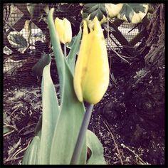 Gele tulpen bloeien op