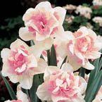 'Replete' Daffodil