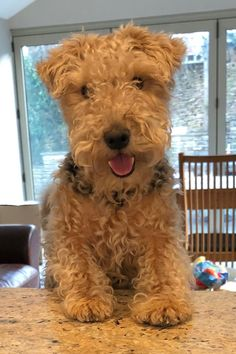 Welsh Terrier, Wire Fox Terrier, Airedale Terrier, Fox Terriers, Lakeland Terrier Puppies, Pet Dogs, Dog Cat, Pillos, Group Of Dogs