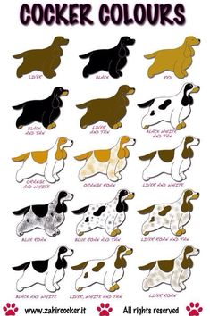 """Learn even more information on """"American cocker spaniel"""". Browse through our internet site. Perro Cocker Spaniel, Golden Cocker Spaniel, American Cocker Spaniel, English Spaniel, English Cocker, English Dogs, Baby Animals, Cute Animals, Cockerspaniel"""