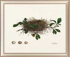 Bird Nest Print 13 Beautiful 8X10 Antique Art Room Decoration Wall Illustration to Frame Tree Branch Pink Flowers Eggs