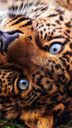 Mirrors into the soul. What do you see there? Is it worth saving? http://www.wcs.org/our-work/species/jaguars