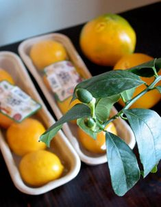 Indoor Meyer Lemon Trees for Winter. For Mark's lemon tree Citrus Trees, Fruit Trees, Farm Gardens, Outdoor Gardens, Courtyard Gardens, Small Gardens, Christmas Card Display, Christmas Cards, Meyer Lemon Tree
