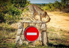 Pretoriuskop Restcamp - Accommodation in Kruger Park. Kruger Park Game Reserve And Bush Lodge Accommodation, Kruger National Park & Lowveld, Mpumalanga, South Africa Electric Hotplates, Kruger National Park, National Parks, Bed Unit, Wilderness Trail, Filling Station, Travel Route, Red Tree, Baboon