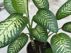 Диффенбахия пестрая - Dieffenbachia picta, диффенбахия фото