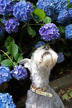 先日の台風で石榴の樹の下は落ちたオレンジの花、紫陽花は頭を下げ、急激に色あせくたびれてしましました。青い鳥小鳥なぜなぜ青い青い実を食べた童謡『赤い鳥小鳥』...