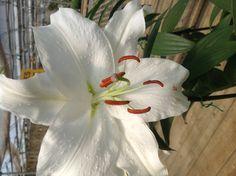 White beauty in full bloom