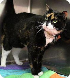 Westampton, NJ - Domestic Shorthair. Meet Nola 33785403, a cat for adoption. http://www.adoptapet.com/pet/16916177-westampton-new-jersey-cat