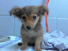 #A475902 Release date 11/22 I am a male, brown and black Chihuahua - Long Haired mix. Shelter staff think I am about 13 weeks old. I have been at the shelter since Nov 17, 2014. City of San Bernardino Animal Control-Shelter. https://www.facebook.com/photo.php?fbid=10203966780027426&set=a.10203202186593068&type=3&theater