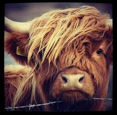 Scottish cow moo