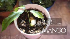 Germinar un mango (Growing mango from seed) Growing Mango From Seed, Mango Tree, Manga, Seeds, Garden, Audio, Plants, Orchards, Bridge