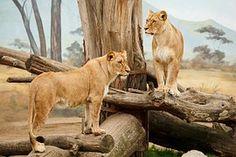 Afrikka, Eläinten, Iso, Lihansyöjä