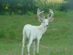 Protecting Albino Whitetails in Irons, Mi. Albino Deer, Rare Albino Animals, Whitetail Deer Pictures, Deer Pics, Big Deer, Deer Family, Whitetail Bucks, Mule Deer, Mundo Animal