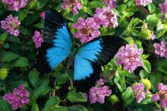 The beautiful Ulysses Butterfly...  http://www.thalabeach.com.au/ulysses-butterfly-australia/