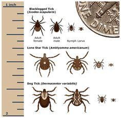 1000 Images About Ticks Bugs On Pinterest Tick Bite