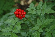 Baneberry Habitat: Moist woods, streambanks and clearings; low to subalpine elevations  Bloom time: May through June (fruits in August)  Range: Temperate North America