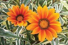 Top 10 Plants for Sandy Soil: Gazania