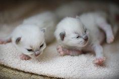 #ragdoll #kitten #cute #cat