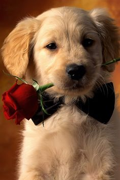Awwwwwh!  Dog with rose in mouth and bow tie.   Guys, I think this might be effective in melting a woman's heart.  ***** Referenced by 1 Dollar Web Hosting  (WHW1.com): WebSite Hosting - Affordable, Reliable, Fast, Easy, Advanced, and Complete.©